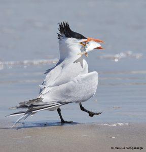 7785 Mating Ritual, Royal Tern (Thalasseus maximus), Galveston, Texas