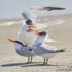 7786 Mating Royal Terns (Thalasseus maximus), Galveston, Texas