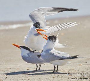 7786 Mating Royal Terns (Thalasseus maximus), Galveston, Texas