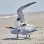 7804 Mating Royal Terns (Thalasseus maximus), Galveston, Texas