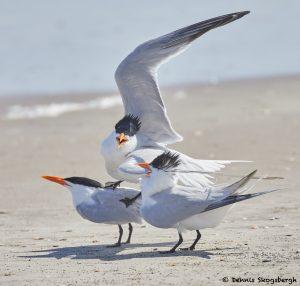 7804 Mating Royal Terns (Thalasseus maximus), Galveston, Texas