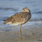 7788 Willet (Tringa semipalmata), Galveston, Texas