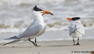 7759 Mating Ritual, Royal Terns (Thalasseus maximus), Galveston, Texas