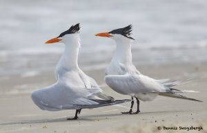 7760 Mating Ritual, Royal Tern (Thalasseus maximus), Galveston, Texas