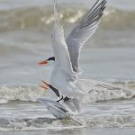 7797 Mating Royal Terns (Thalasseus maximus), Galveston, Texas