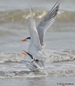 7797 Mating Royal Terns (Thalasseus maximus), Galveston, Texas