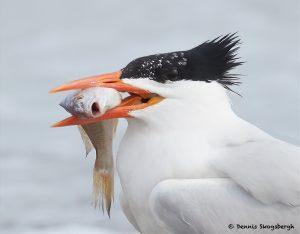 7762 Royal Tern (Thalasseus maximus), Galveston, Texas