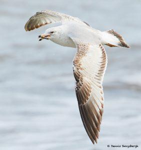 7755 Herring Gull (Laurs argentatus), Galveston, Texas