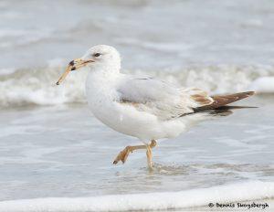 7756 Herring Gull (Laurs argentatus), Galveston, Texas