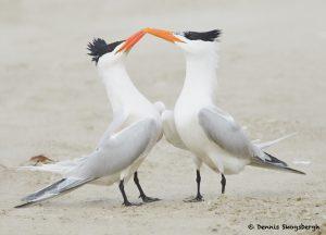 77614 Mating Ritual, Royal Tern (Thalasseus maximus), Galveston, Texas