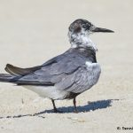 7772 Black Tern (Chlidonias niger), Galveston, Texas