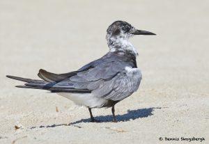 7772 Black Tern (Chlidonias niger), Galveston, Texas