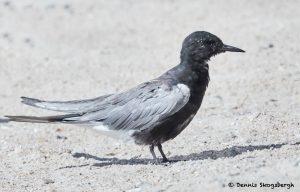 7773 Black Tern (Chlidonias niger), Galveston, Texas