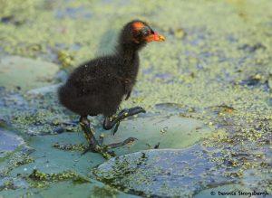 7858 Common Gallinule Chick (Gallinula galeata), Anahuac NWR, Texas