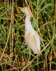 7832 Nesting Cattle Egret (Bubulcus ibis), Anahuac NWR, Texas