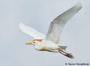 7821 Breeding Cattle Egret (Bubulcus ibis), Anahuac NWR, Texas