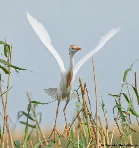 7822 Nesting Cattle Egret (Bubulcus ibis), Anahuac NWR, Texas