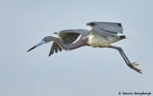 7844 Tri-colored Heron (Egretta tricolor), Anahuac NWR, Texas