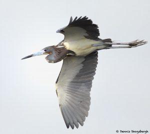 7848 Tri-colored Heron (Egretta tricolor), Anahuac NWR, Texas