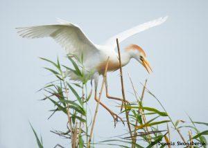 7823 Nesting Cattle Egret (Bubulcus ibis), Anahuac NWR, Texas