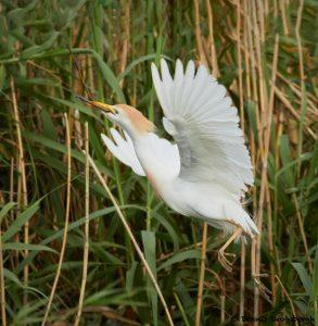 7824 Nesting Cattle Egret (Bubulcus ibis), Anahuac NWR, Texas