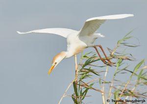 7825 Nesting Cattle Egret (Bubulcus ibis), Anahuac NWR, Texas