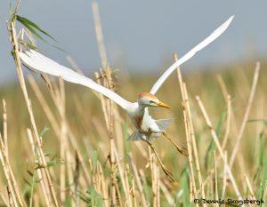 7826 Nesting Cattle Egret (Bubulcus ibis), Anahuac NWR, Texas