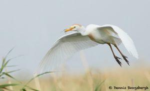 7827 Nesting Cattle Egret (Bubulcus ibis), Anahuac NWR, Texas
