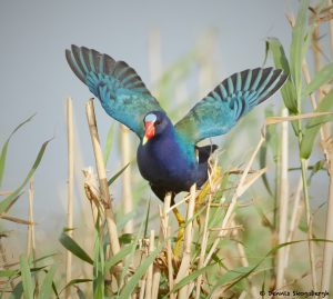 7808 Purple Gallinule (Porphyrio martinica), Anahuac NWR, Texas