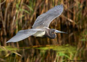 7849 Tri-colored Heron (Egretta tricolor), Anahuac NWR, Texas