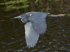 7851 Tri-colored Heron (Egretta tricolor), Anahuac NWR, Texas