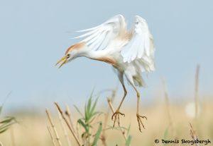7830 Nesting Cattle Egret (Bubulcus ibis), Anahuac NWR, Texas