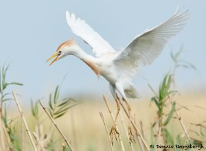 7831 Nesting Cattle Egret (Bubulcus ibis), Anahuac NWR, Texas