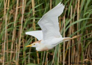 7831 Breeding Cattle Egret (Bubulcus ibis), Anahuac NWR, Texas