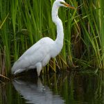 7815 Great Egret (Ardea alba), Anahuac, Texas