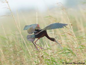 7816 Nesting White-faced Ibis (Pegadis chihi), Anahuac NWR, Texas