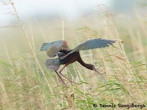 7816 Nesting White-faced Ibis (Plegadis chihi), Anahuac NWR, Texas