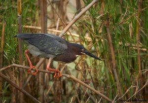 7807 Green Heron (Butorides virescens), Anahuac NWR, Texas