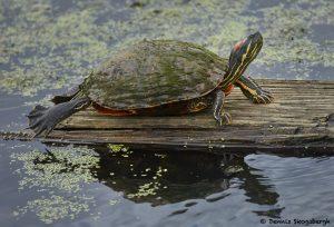 7805 Red-eared Slider Turtle (Trachemys scripta elegans), Anahuac NWR, Texas