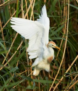 7840 Nesting Cattle Egret (Bubulcus ibis), Anahuac NWR, Texas