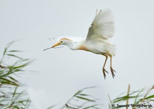 7841 Nesting Cattle Egret (Bubulcus ibis), Anahuac NWR, Texas