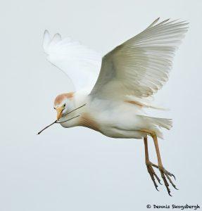 7839 Breeding Cattle Egret (Bubulcus ibis), Anahuac NWR, Texas