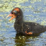 7856 Common Gallinule Chick (Gallinula galeata), Anahuac NWR, Texas