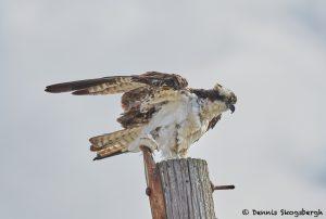 7913 Osprey (Pandion haliaetus), Bolivar Peninsula, Texas