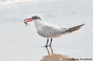 7912 Caspian Tern (Hydroprogne casspia), Bolivar peninsula, Texas