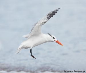 7914 Elegant Tern (Thalasseus elegans), Bolivar Peninsula, Texas