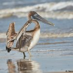7860 Juvenile Brown Pelican (Pelicanus occidentals), Bolivar Peninsula, Texas