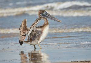 7860 Juvenile Brown Pelican (Pelicanus occidentals), Bolivar Peninsula, Texas