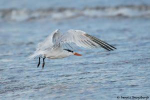 7861 Royal Tern (Thalasseus maximus), Bolivar Peninsula, Texas