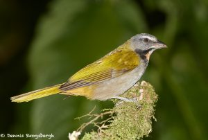 6152 Buff-throated Saltator (Saltator maximus), Arenal Oasis Lodge, Costa Rica